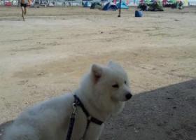 寻狗启示,丢失纯白中型萨摩耶犬一只,一岁四个月,45天断奶抱回来就一直没离开过我,你在哪?祈求有好心人收养你,没受罪,爷爷去接你,感谢好心人。,它是一只非常可爱的宠物狗狗,希望它早日回家,不要变成流浪狗。