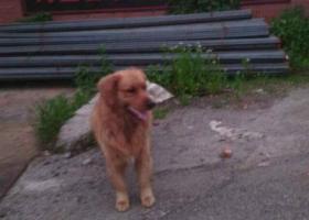 寻狗启示,海盐县武原镇海兴路走丢金毛一只,它是一只非常可爱的宠物狗狗,希望它早日回家,不要变成流浪狗。
