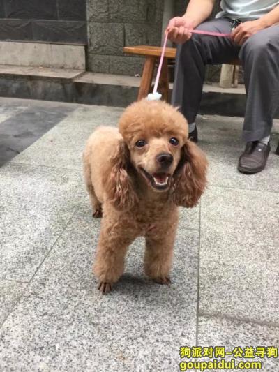 绵阳寻狗主人,在绵阳长虹大道北段4号捡到棕色狗一只。找的狗主人。,它是一只非常可爱的宠物狗狗,希望它早日回家,不要变成流浪狗。