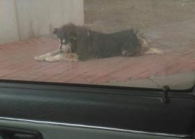 寻狗启示,看到流浪乖乖犬  阿拉斯加犬 大型 公 黑 比较纯种,它是一只非常可爱的宠物狗狗,希望它早日回家,不要变成流浪狗。