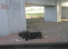 寻狗启示,大型阿拉斯加犬  黑色,它是一只非常可爱的宠物狗狗,希望它早日回家,不要变成流浪狗。