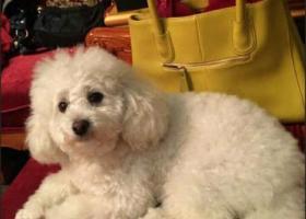 寻狗启示,淮南市田家庵区新体育场南门寻找白色比熊,它是一只非常可爱的宠物狗狗,希望它早日回家,不要变成流浪狗。