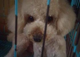 寻狗启示,找一香槟色泰迪,公狗,叫豆豆,两岁左右,卷毛,找到者,见面重谢,它是一只非常可爱的宠物狗狗,希望它早日回家,不要变成流浪狗。