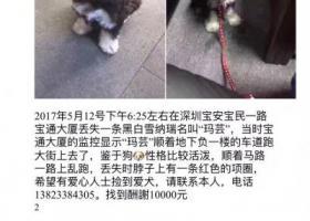 """黑白雪纳瑞 1岁多公狗名字""""玛芸"""",5月12日在宝安区宝民一路走失"""