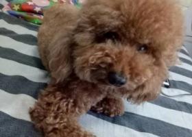 寻狗启示,家中泰迪小狗狗在东关生活区走丢,它是一只非常可爱的宠物狗狗,希望它早日回家,不要变成流浪狗。