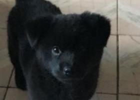 寻狗启示,六年级女孩的寻狗梦,愿好心人捡到,它是一只非常可爱的宠物狗狗,希望它早日回家,不要变成流浪狗。