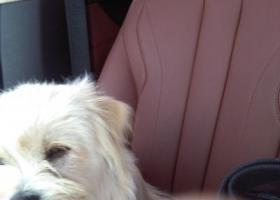 寻狗启示,南开捡到一小白狗,老追骑车的,它是一只非常可爱的宠物狗狗,希望它早日回家,不要变成流浪狗。