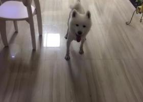 找狗狗,快一岁的萨摩耶