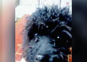 寻狗启示,一只黑色泰迪于五月15日下午在浙江宁波宁海双林生态村丢失