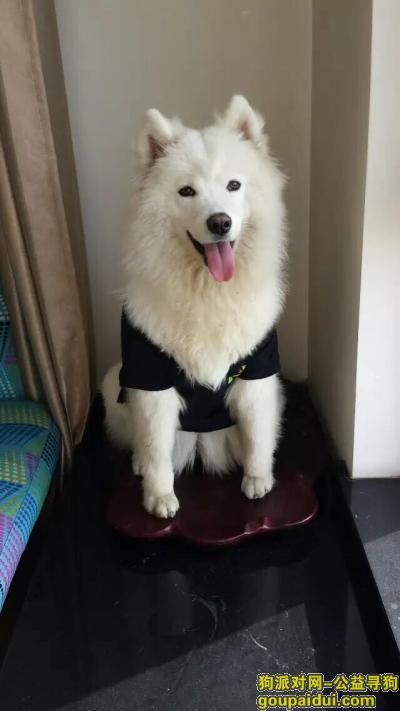 承德寻狗网,下板城丢失萨摩一直!!,它是一只非常可爱的宠物狗狗,希望它早日回家,不要变成流浪狗。