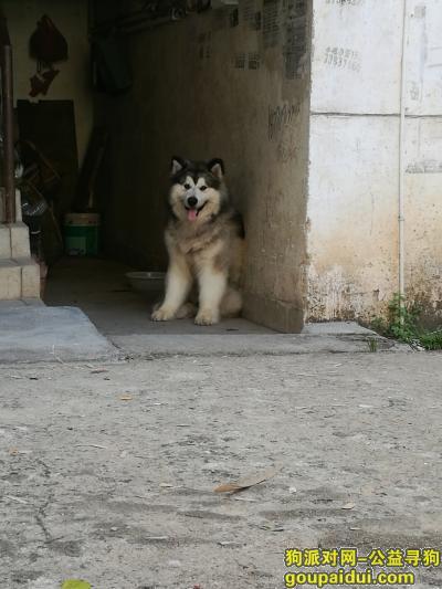 ,寻一条灰桃阿拉斯加公犬,它是一只非常可爱的宠物狗狗,希望它早日回家,不要变成流浪狗。