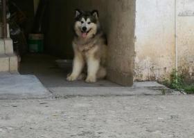 寻狗启示,寻一条灰桃阿拉斯加公犬,它是一只非常可爱的宠物狗狗,希望它早日回家,不要变成流浪狗。