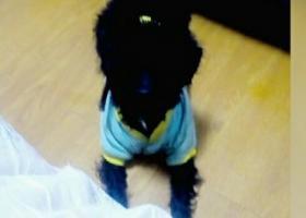 寻狗启示,五月15日下午在浙江宁波宁海双林生态村丢失一只黑色公泰迪,它是一只非常可爱的宠物狗狗,希望它早日回家,不要变成流浪狗。