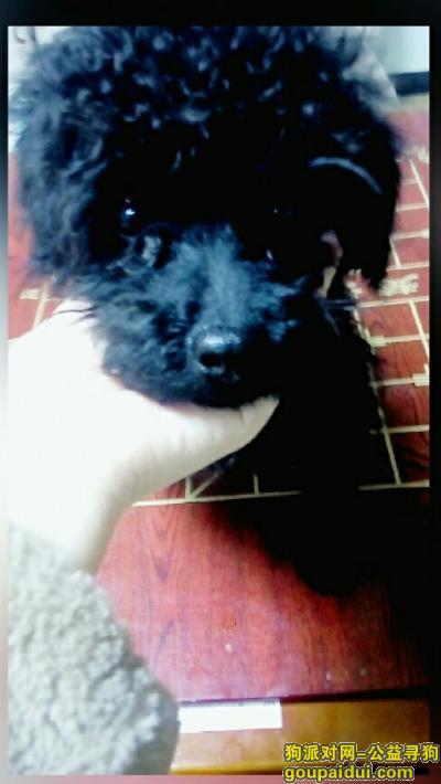 寻狗启示,五月15日下午在浙江宁波宁海双林生态旅游村丢失一只黑色公泰迪,它是一只非常可爱的宠物狗狗,希望它早日回家,不要变成流浪狗。