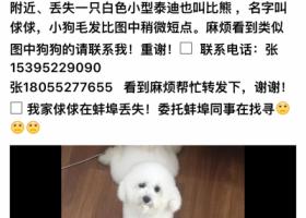 寻狗启示,寻白色小比熊俅俅~女狗 3岁,它是一只非常可爱的宠物狗狗,希望它早日回家,不要变成流浪狗。