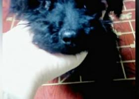 寻狗启示,重金寻狗  五月十五日在浙江宁波宁海县双林生态旅游村丢失一只纯黑色公泰迪,它是一只非常可爱的宠物狗狗,希望它早日回家,不要变成流浪狗。