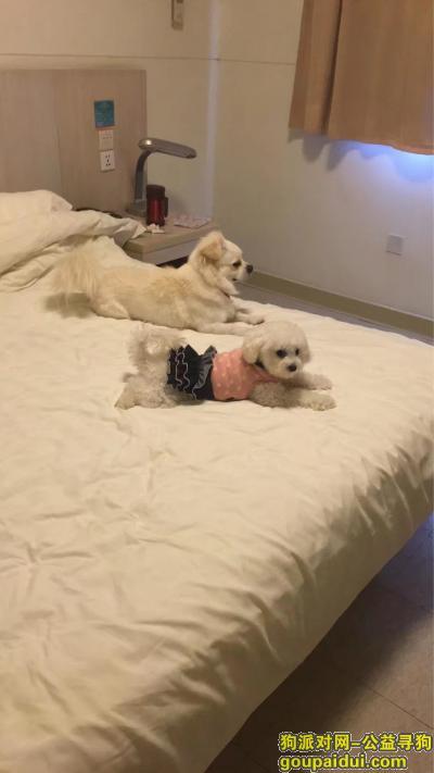 蚌埠寻狗启示,寻白色小比熊俅俅~母狗3岁 毛发偏短,它是一只非常可爱的宠物狗狗,希望它早日回家,不要变成流浪狗。