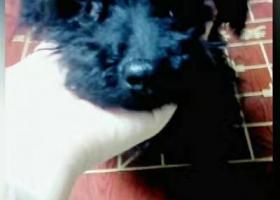 寻狗启示,重金寻狗,本人五月十五日在浙江宁波宁海双林生态旅游村丢失一只纯黑色泰迪,它是一只非常可爱的宠物狗狗,希望它早日回家,不要变成流浪狗。