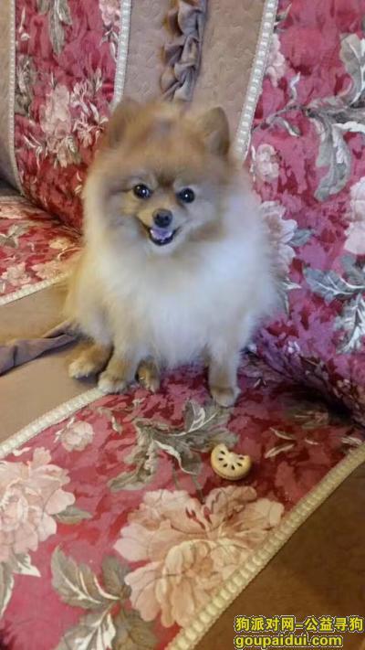 丽江寻狗网,2017.5.18的22点半在丽江花马街走失 博美狐狸黄毛公狗,它是一只非常可爱的宠物狗狗,希望它早日回家,不要变成流浪狗。