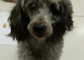 寻狗启示,临沂莒南寻找灰色泰迪爱犬,它是一只非常可爱的宠物狗狗,希望它早日回家,不要变成流浪狗。