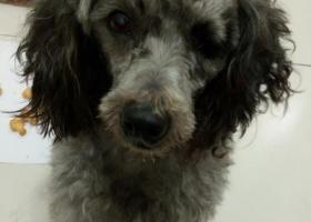 寻狗启示,莒南县寻找灰色泰迪狗,它是一只非常可爱的宠物狗狗,希望它早日回家,不要变成流浪狗。