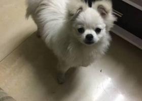 寻狗启示,2017.5.17晚上八点多在温州瓯江路安澜亭附近捡到一只白色公狗,它是一只非常可爱的宠物狗狗,希望它早日回家,不要变成流浪狗。