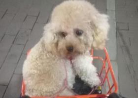 寻狗启示,广州白云区江夏陈田村南街丢失泰迪一只,它是一只非常可爱的宠物狗狗,希望它早日回家,不要变成流浪狗。