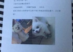 寻狗启示,重金寻狗,白色公博美一只,在湖里特区纪念馆附近丢失,它是一只非常可爱的宠物狗狗,希望它早日回家,不要变成流浪狗。
