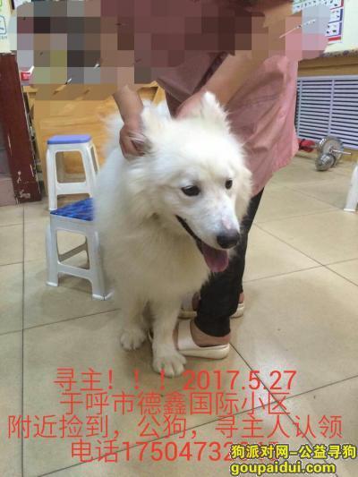 寻狗启示,萨摩,公狗,今日捡到,寻主人!!!!!,它是一只非常可爱的宠物狗狗,希望它早日回家,不要变成流浪狗。