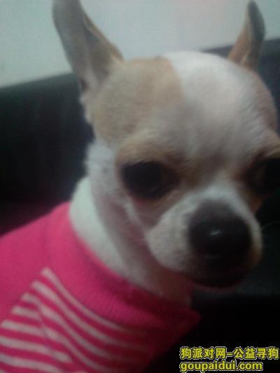寻狗启示,露露,我的母吉娃娃,四岁的母吉娃娃,你在哪里?,它是一只非常可爱的宠物狗狗,希望它早日回家,不要变成流浪狗。