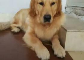 寻狗启示,洋葱,公狗,今年3岁,它是一只非常可爱的宠物狗狗,希望它早日回家,不要变成流浪狗。