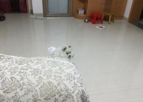 昨晚丢失一只白色博美犬,希望有好心人看到的联系我,定当酬谢