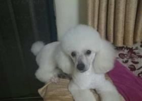 寻狗启示,白色贵宾犬。如图,名字叫狗狗。4月二十多号丢的,丢失地点在大庆路,华龙区武装部附近(南江小区附近)。希望好心人能帮帮我,谢了。,它是一只非常可爱的宠物狗狗,希望它早日回家,不要变成流浪狗。