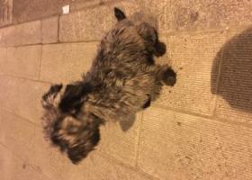 寻狗启示,捡到一只 黑银灰色 雪瑞纳,它是一只非常可爱的宠物狗狗,希望它早日回家,不要变成流浪狗。