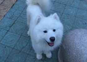 寻狗启示,一岁半萨摩耶公犬与六月三日走丢在新月园附近,它是一只非常可爱的宠物狗狗,希望它早日回家,不要变成流浪狗。