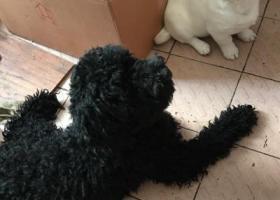 寻狗启示,寻找黑色泰迪 万分感谢 13407642387,它是一只非常可爱的宠物狗狗,希望它早日回家,不要变成流浪狗。