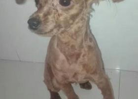 寻狗启示,棕色公泰迪,名字叫六六,它是一只非常可爱的宠物狗狗,希望它早日回家,不要变成流浪狗。