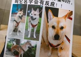 寻狗启示,广东开平酬谢2000寻找土狗彭彭!,它是一只非常可爱的宠物狗狗,希望它早日回家,不要变成流浪狗。