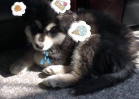 寻狗启示,寻找爱犬阿拉斯加 几个月大,它是一只非常可爱的宠物狗狗,希望它早日回家,不要变成流浪狗。