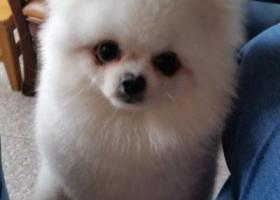 寻狗启示,南通市 通州区八角亭饭店酬谢三千元寻找博美,它是一只非常可爱的宠物狗狗,希望它早日回家,不要变成流浪狗。
