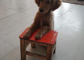 寻狗启示,金毛在乌达南加油站附近丢失,捡到重金酬谢,它是一只非常可爱的宠物狗狗,希望它早日回家,不要变成流浪狗。