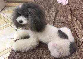 寻狗启示,湖南省岳阳市岳阳楼区王家河大桥走丢一只泰迪请各位爱心人士帮帮忙,它是一只非常可爱的宠物狗狗,希望它早日回家,不要变成流浪狗。