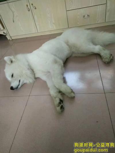 百色找狗,德保县萨摩耶走丢,最后一次在德保初中看见,它是一只非常可爱的宠物狗狗,希望它早日回家,不要变成流浪狗。