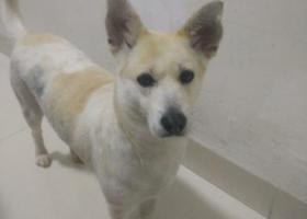 寻狗启示,福建晋江高厝村母狗发情跑出去了,它是一只非常可爱的宠物狗狗,希望它早日回家,不要变成流浪狗。
