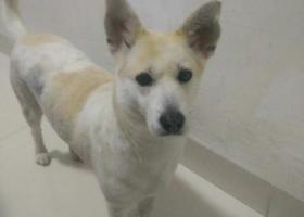 寻狗启示,晋江市池店镇高厝村寻找爱犬,它是一只非常可爱的宠物狗狗,希望它早日回家,不要变成流浪狗。