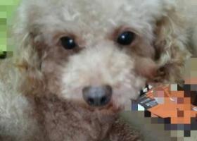 寻狗启示,六月十日徐州铁路二九宿舍丢失泰迪,它是一只非常可爱的宠物狗狗,希望它早日回家,不要变成流浪狗。