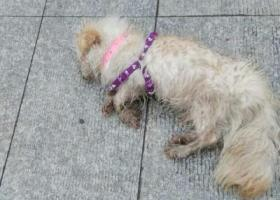 寻狗启示,石路演艺中心附近看到受伤的狗狗一只,它是一只非常可爱的宠物狗狗,希望它早日回家,不要变成流浪狗。
