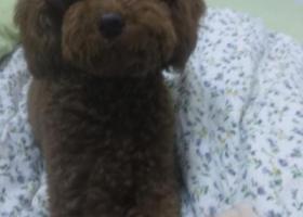 寻找我的爱狗红棕泰迪阳阳