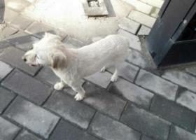 寻狗启示,在曲江新区文化大厦附近捡到狗狗一只,狗狗很懂事,希望它回家,它是一只非常可爱的宠物狗狗,希望它早日回家,不要变成流浪狗。