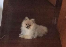 寻狗启示,常州市天宁区锦绣东苑小区大花坛寻找英系博美,它是一只非常可爱的宠物狗狗,希望它早日回家,不要变成流浪狗。